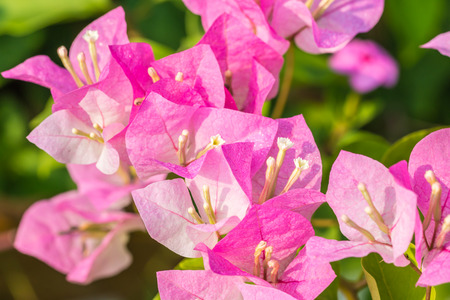color bougainvillea: Soft pink bougainvillea flowers in soft color and soft blurred style, in blurred background. Macro.