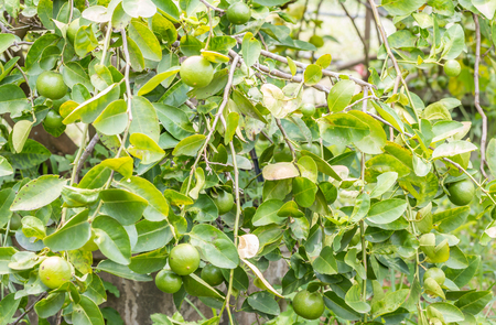 many branches: Branches of lemon (lime) tree with many green fruit on tree, among green leaves, in Thailand. Stock Photo