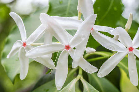 White flower fragrance kopsia arborea flowers apocynaceae stock photo white flower fragrance kopsia arborea flowers apocynaceae with water droplets and green leaves in soft color and soft blurred style mightylinksfo