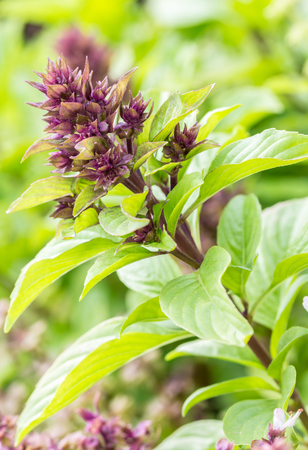 Sweet basil leaves on tree, in soft blurred style, on natural blurred background, in Thailand. Vertical image, macro.