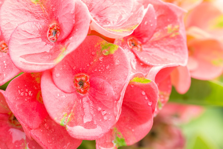 Pink flowers, Euphorbia, Crown of thorns and Christ Thorn with water droplets, in soft color and blur style for background, in Thailand. Macro.
