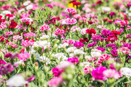 Abstract blurred background of colorful carnation flowers, on other blossom blur background, macro.