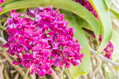 gigantea: Red orchid, Rhynchostylis gigantea, with water droplets, in full bloom in farm, in soft blurred style, on green leaves blur background, in Thailand. Macro.