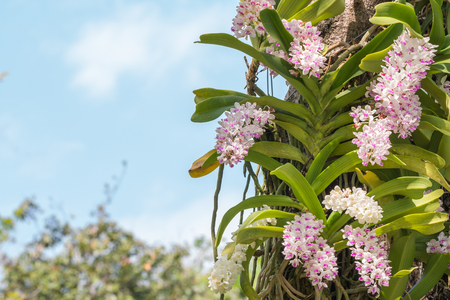 gigantea: White and purple orchid, Rhynchostylis gigantea, grow on big trees in the garden, with blue sky, among green leaves blurred background, in Thailand. Stock Photo