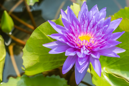 Beautiful purple water lily or lotus flower, on bright sunlight, in soft color and soft blurred style, among green leaves blur background, in Thailand. Macro.