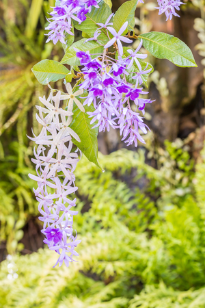 petrea: Beautiful violet flowers, Purple Wreath, Sandpaper Vine (Petrea volubilis L.), on green leaves blurred background. Macro.