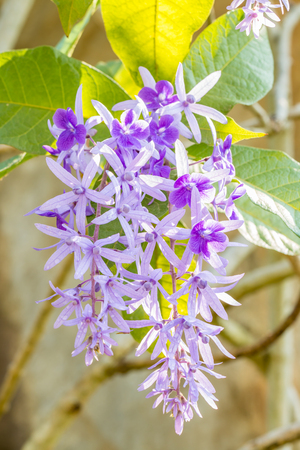 petrea: Beautiful violet flowers, Purple Wreath, Sandpaper (Petrea volubilis L.), among bright sunlight, in soft blurred style, on blur branches  background. Macro. Vertical image.