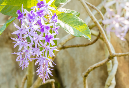 petrea: Beautiful violet flowers, Purple Wreath, Sandpaper Vine (Petrea volubilis L.), among bright sunlight, in soft blurred style, on blur branches vine background. Macro.