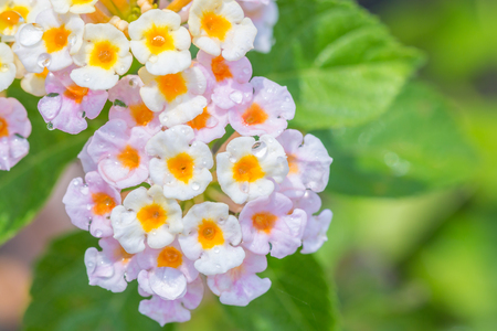 lantana: Colorful flower, Lantana, Wild sage, Cloth of gold (Lantana camara L.) with water droplets, in soft blurred style, on green leaves blur background, Macro.