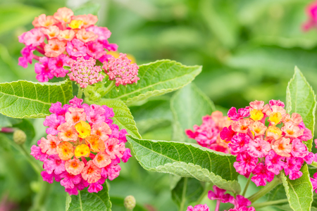 Colorful flower lantana wild sage cloth of gold lantana camara colorful flower lantana wild sage cloth of gold lantana camara l mightylinksfo