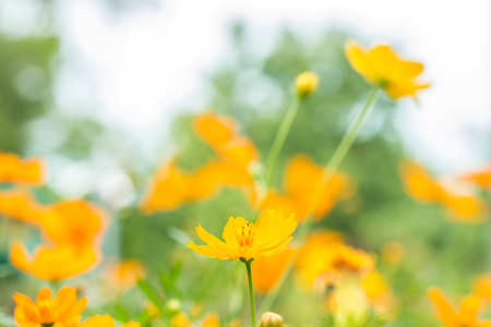 suitable: Abstract blurred of yellow cosmos flower field, in soft color and soft blurred style, on bright sunlight, suitable for use as a background.