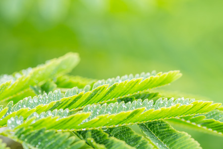Natural green background, Acacia pennata leaf, with space for text, in soft color and soft blurred style, on bright sunlight. Macro.