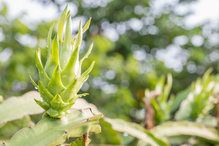 planted: Young dragon fruit on branch, planted for decoration in a garden, on natural green blurred and sunlight bokeh background, in Thailand.