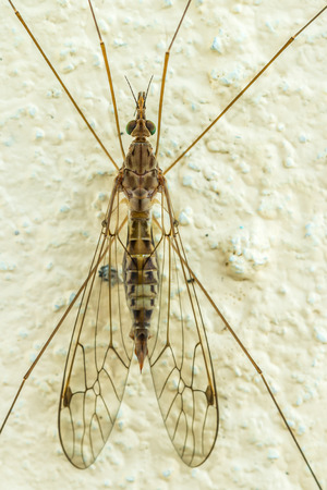 daddy long legs: Crane fly, Tipulidae perch on a cement wall, long legs, beautiful pattern on wings. Insect. Animal. Macro.