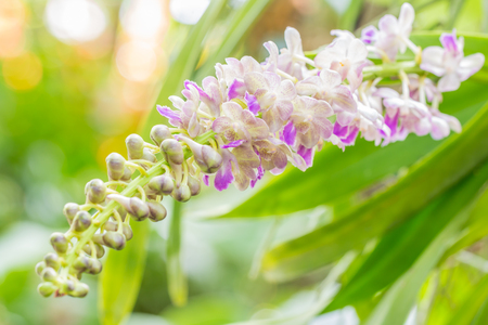 falcata: Bunch of fragrant orchids, Aerides falcata Lindl., white and purple, in soft color and soft blurred style, on blight sunlight and green leaves blur background, macro. Stock Photo