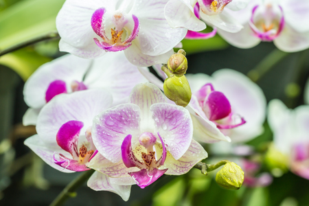 Beautiful white and purple orchids, Phalaenopsis, with water droplets, in soft blurred style, on green leaves blur background. Selective focus point.