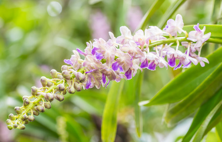 Bunch of fragrant orchids, Aerides falcata Lindl., white and purple, in soft color and soft blurred style, on blight sunlight and green leaves blur background, macro. Stock Photo