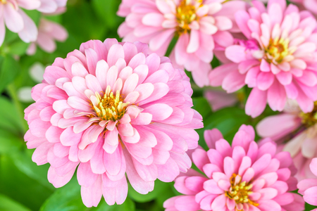 Beautiful pink flowers, Zinnia violacea Cav., top view, with other blossom and green blurred background, macro.