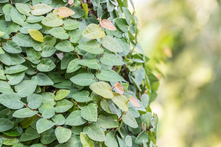 Ornamental plants, Creeping fig vine, creeping ficus, climbing fig, on green bokeh background, with a space for text. Macro.
