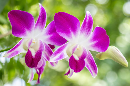 Beautiful white purple orchids, Dendrobium, in full bloom among bright sunlight, in soft blurred style, selective focus point, on bright bokeh blur background, Macro.