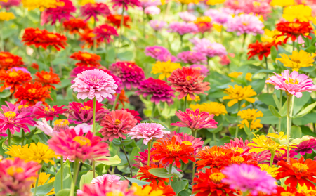 Background flowers, colorful of Zinnia,  with other blossom blur background, selective focus point.