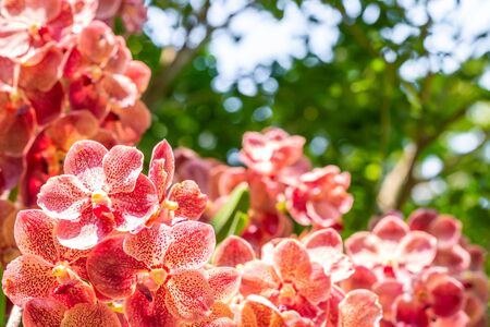 Beautiful red orchids, Vanda, in bloom, among bright sunlight and green leaves bokeh background, in soft blurred style, macro. Zdjęcie Seryjne
