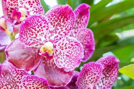 Purple orchids, Vanda, in bloom, among green leaves blur background, in soft blurred style, selective focus point. Macro. Zdjęcie Seryjne