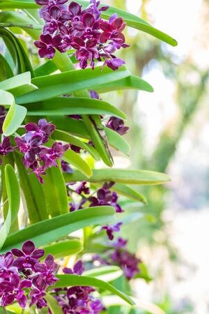 Red orchid, Rhynchostylis gigantea, grow on big trees in an ornamental garden, among green leaves and light bokeh background, vertical image.