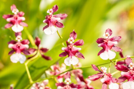 Abstract blurred background of brown and white orchid, Oncidium, Dancing Lady, blooming in the garden, on green leaves blur background, selective focus points.