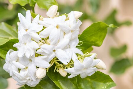 Bouquet of white flowers, Jasmine (Jasminum sambac L.) in full bloom, in soft blurred style, with green leaves blur background, macro.
