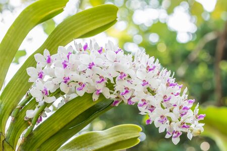 White and purple orchid, Rhynchostylis gigantea, in bloom, in bright sunlight, among green leaves blurred background. Macro.