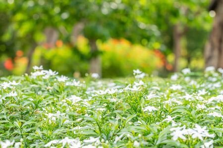 Abstract blurred of nature, bush of white flowers, Sampaguita Jasmine on foreground, with green tree bokeh, among bright sunlight background.