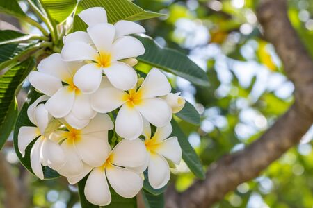 White flowers, plumeria (frangipani) on tree, among bright sunlight, on green leaves blurred background. Zdjęcie Seryjne