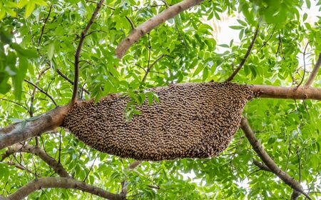 Swarm of bees, Beehive, Honeycomb clinging on branch of mahogany in nature, among bright sunlight and green leaf blurred background.