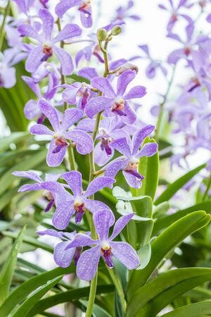 Purple orchids, Mokara, in soft color and soft blurred style, on bright sunlight and green leaves blur background, vertical image. Zdjęcie Seryjne