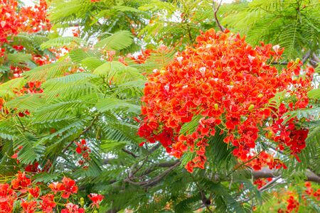 Abstract blur background of red and orange flowers, Delonix regia; Flame Tree, Royal Poinciana on branch, among bright sunlight, with green leaves, selective focus point, for decoration on the wall.