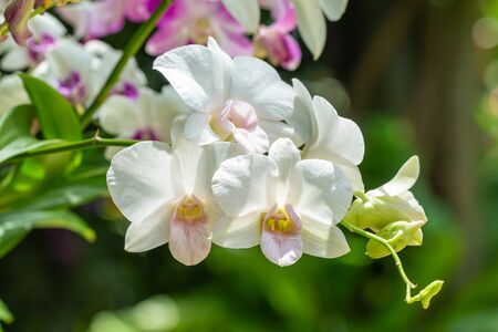White orchids, Dendrobium, in full bloom, in soft color and soft blurred style, on blur background, selective focus point, macro.