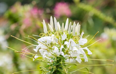 Tropical flowers, white cleome or spider flower, among bokeh bright sunlight and other pink blossom, in soft blurred style, suitable for a background.