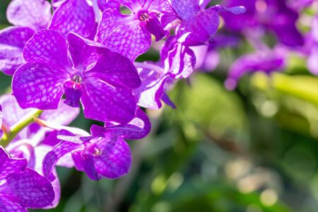 Purple orchid, Vanda, among bright sunlight and green leaves blur background, in soft blurred style, with space for text, selective focus point. Zdjęcie Seryjne