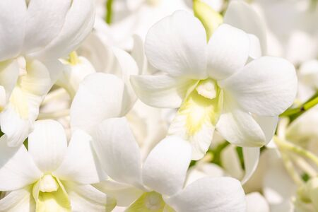 White orchids, Dendrobium, in soft blurred style, on bright sunlight, selective focus point.