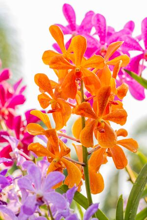 Orange orchids, Mokara, Vanda, in full bloom, among green leaves and other blossom, in soft blurred style, suitable for use as a flower garden background.