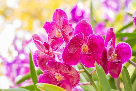 Blooming flowers, pink orchid, Vanda, in soft blurred style, on bokeh bright sunlight and other blossom blur background, selective focus point, use as a background. Zdjęcie Seryjne