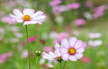 Backdrop scenery of flower, pink cosmos blooming in the field, in soft color and soft blurred style, on green leaves and blossom blur background, macro.