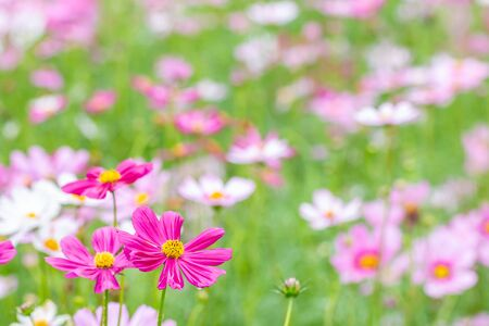 Scenery of flower, pink cosmos blooming in the field, in soft color and soft blurred style, on green leaves and blossom blur background.