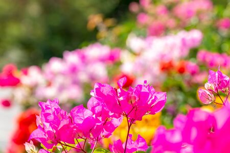Abstract blurred background of colorful bougainvillea flower, among green leaves and other blossom blur background, macro. Zdjęcie Seryjne