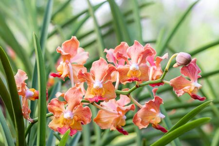 Fragrant orchids, orange Vanda, name: Udon Sunshine, blooming in farm, in soft blurred style, on green leaves blur background, macro.