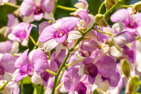 Purple orchids, Dendrobium, in full bloom, with water droplets, in soft blurred style, on other blossom blur background, selective focus points.