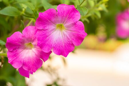 Flowers background, pink petunia in the garden, among green leaves and bright sunlight, selective focus point.