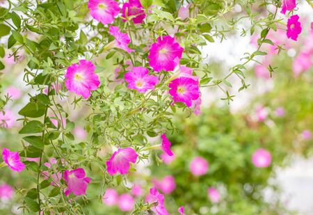 Blurred background of flower, pink petunia. in the garden, among green leaves and bright sunlight, selective focus point.