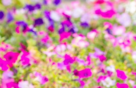 Abstract blur background of colorful petunias, with blurred green leaves, in bright sunlight, used as wallpaper.